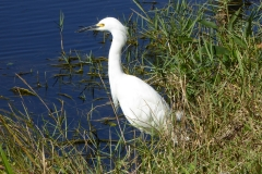 Snowy Egret, Everglades National Park