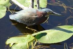 Little Green Heron, Everglades National Park