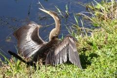 Anhinga, Everglades National Park