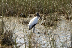 Wood Stork, Everglades National Park