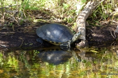 Turtle, Everglades National Park