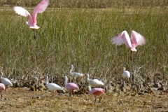 Ibis and Roseate Spoonbill, Everglades National Park