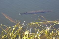 Florida Gar, Everglades National Park