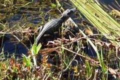 Baby Alligator, Everglades National Park