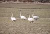 Whooper swans near Fludir