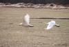 Whooper swans taking flight