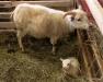 Newly born lamb, South Iceland