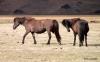 Icelandic horses near Skogar