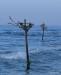 Stilts for fishermen, Hikkaduwa