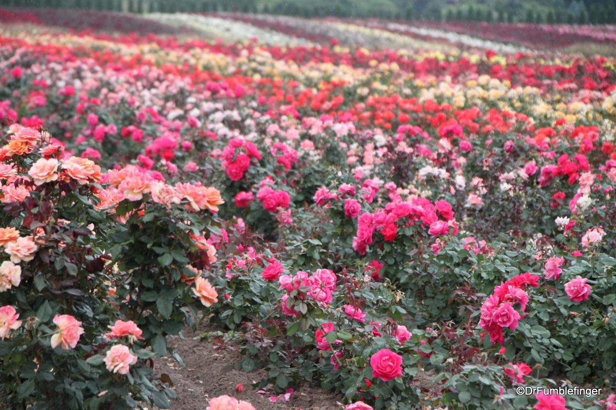 Field of roses, Niagara Peninsula, Ontario