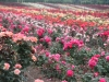 Field of roses, Niagara Peninsula, Ontario