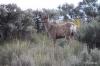 Steamboat Rock -- Mule Deer