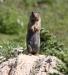 Groundsquirrel