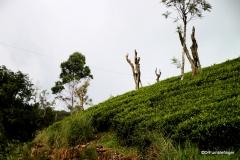 Tea Plantations, Sri Lanka