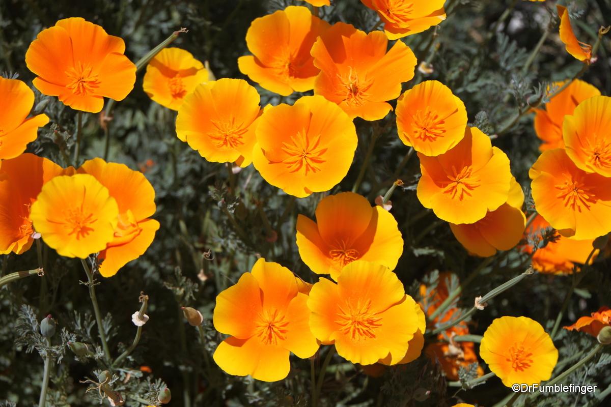California Poppies, Truckee