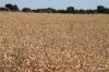 Wheat field, Twin Falls