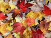 Fallen leaves, University of Washington, Seattle