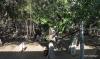Lahaina -- Banyon tree