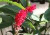 Lahaina -- ginger blossom
