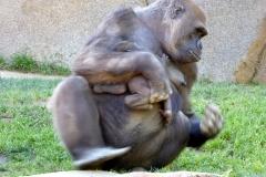 Western Gorillas, San Diego Zoo Safari Park