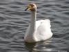 """Whooper Swans, in Reykjavik's """"Pond"""""""