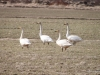 Whooper Swans in a field in South Iceland