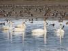 Trumpeter swans, Comox, B.C.