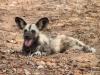 African Wild Dogs, Chobe National Park, Botswana