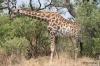 Giraffes, Okavango Delta