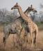 Dueling giraffes, Okavango Delta