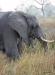 Elephant, Okavango Delta