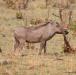 Warthog, Okavango Delta