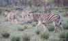 Zebra, Okavango Delta