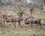 Wildebeest, Okavango Delta