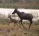 Tsessebe and fawn, Okavango Delta