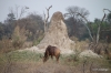 Tsessebe & Termite Mound, Okavango Delta