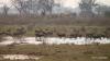 Herd of Waterbuck, Okavango Delta