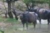 Yala National Park -- Water Buffalo