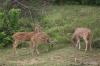 Yala National Park -- Spotted Deer