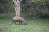 Yala National Park -- Boar