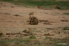 Yala National Park -- Jackal