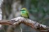 Yala National Park -- Bee eater