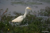 Yala National Park -- Egret