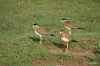 Yala National Park -- birds