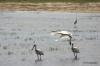 Yala National Park -- Spoonbills