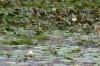 Yala National Park -- Lotus pond