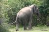 Yala National Park -- Elephant