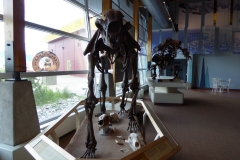 Yukon Beringia Center, Whitehorse.  Giant Short-faced Bear