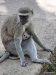 Royal Livingstone Hotel, monkey