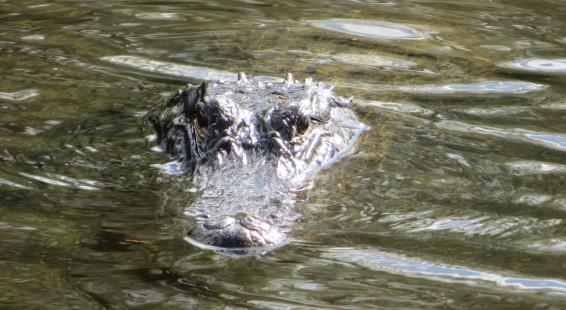 098 Everglades , Alligator